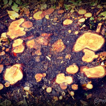 Rose Bush Stumps