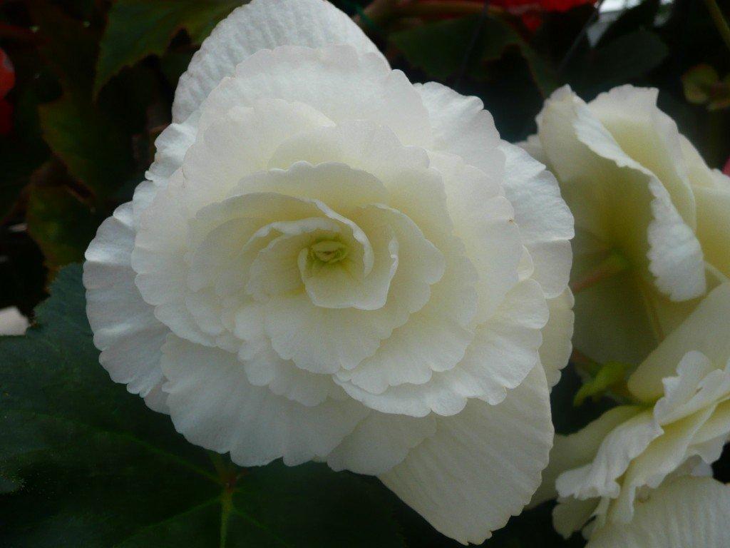 Seductive Bride Tuberous Begonia ©www.jenniferramirezbaulch.com